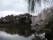 Cherry blossoms in Mitsuike park