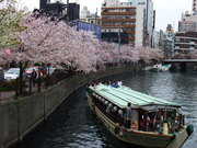 Cherry blossoms in Noge area