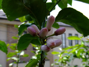 Our lemon tree's buds